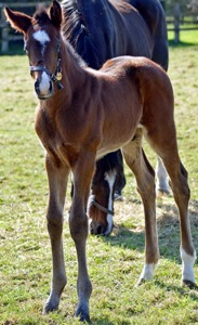 2012 Balalaika colt by Oasis Dream