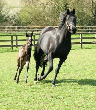 2012 bay filly by Sir Percy