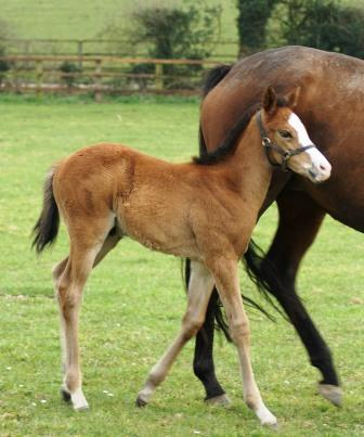 2014 colt by Sir Percy